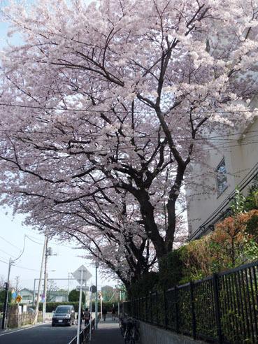 20110410senkyotouhyoujosakura