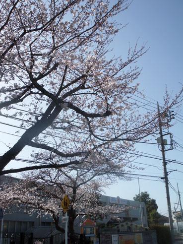 20130321sakura01