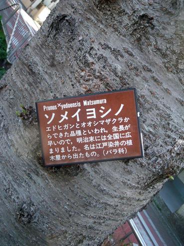 20130321sakura03somei