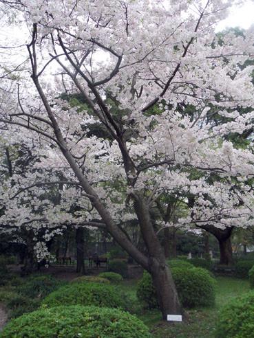 20130326sakuraamagiyoshino